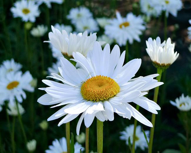 daisy-field2.jpg